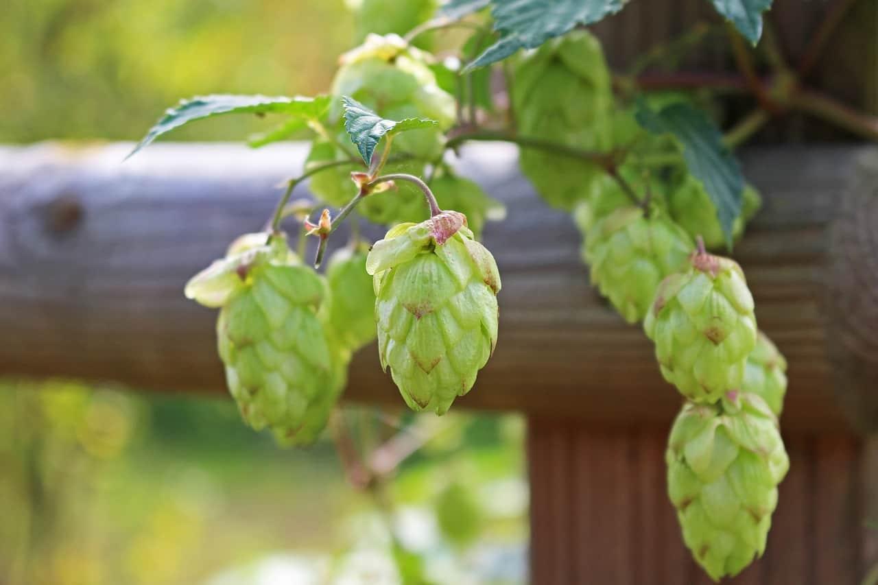 garden-climber-6-hops-pixabay