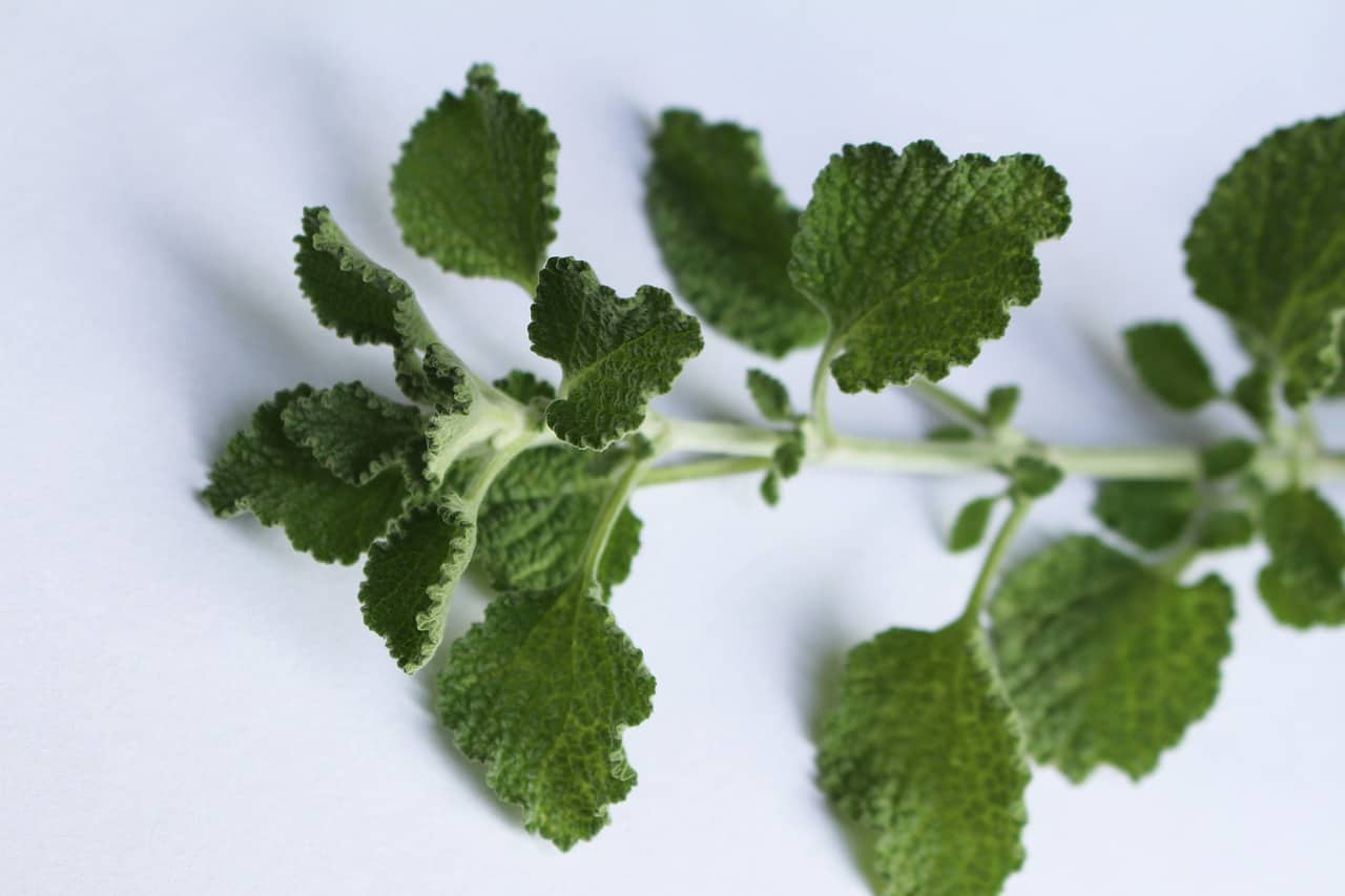 herbs-for-allergies-relief-2-horehound-pixabay