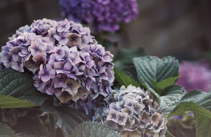 low-maintenance-plants-for-hassle-free-garden-3-hydrangeas-unsplash.jfif
