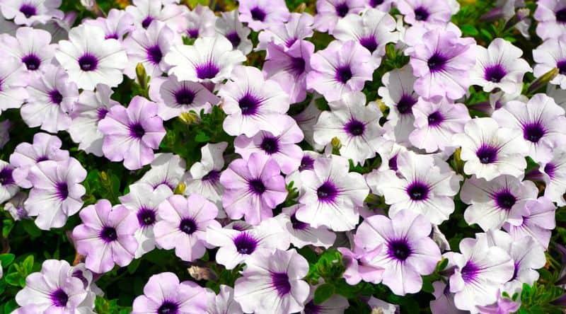 low-maintenance-plants-for-hassle-free-garden-6-petunias-pixabay