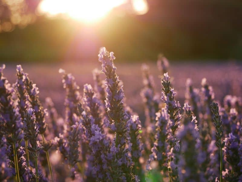 plants-and-herbs-you-can-grow-in-your-tea-garden-4-lavender-unsplash