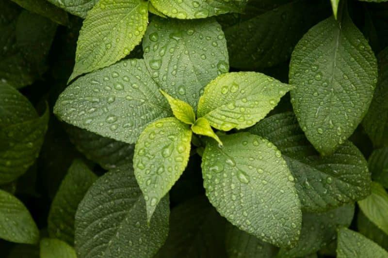 seven-low-maintenance-plants-for-hassle-free-garden-7-mint-unsplash.jfif