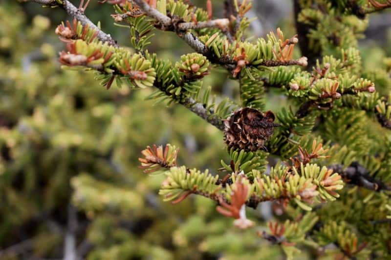 best-plants-for-anti-allergy-garden-1-conifer-unsplash