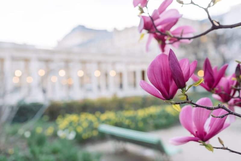 best-plants-for-anti-allergy-garden-4-magnolias-unsplash