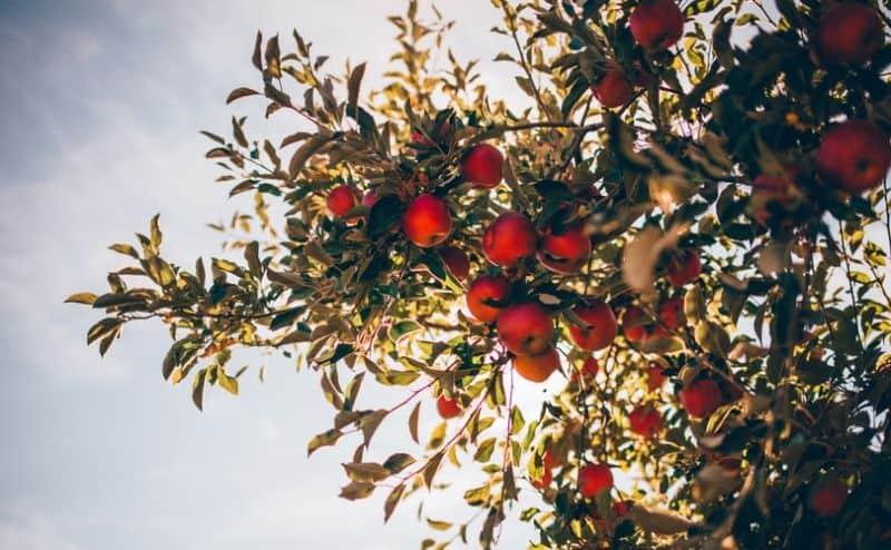 best-plants-for-anti-allergy-garden-7-fruit-trees-unsplash